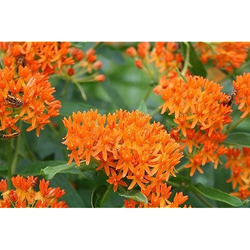 100 vrac Graines Butterfly Weed Orange Asclepias tuberosa